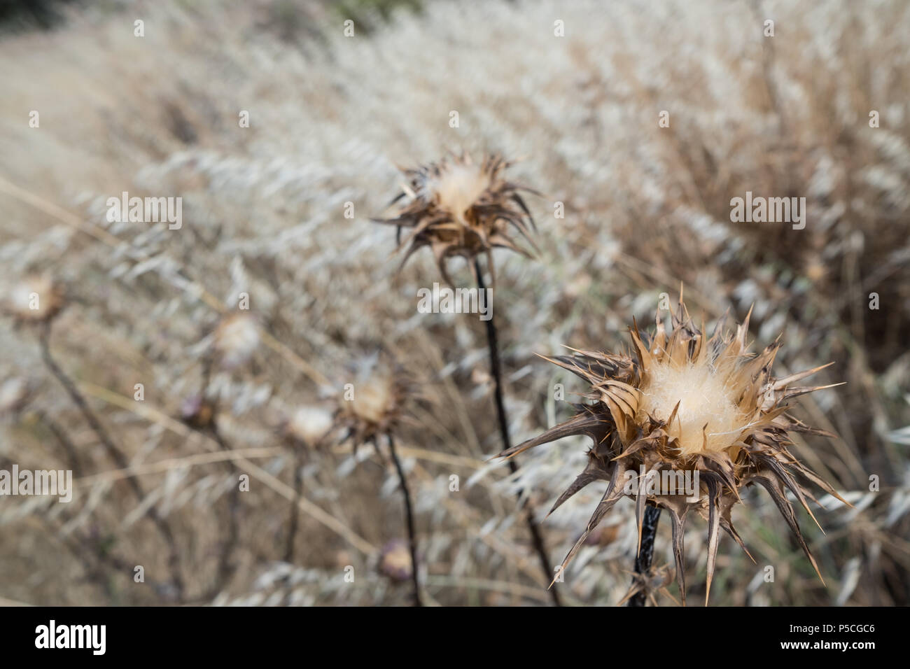 Thorny Thistles drying out in the Hot Climate of the Greek Summer in a Meadow. Saronida, Greece. Stock Photo