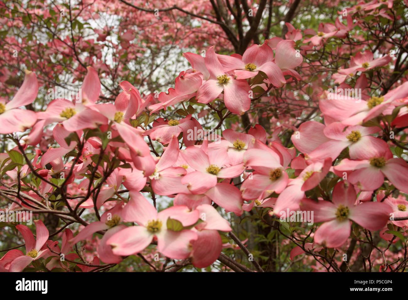 Close Up Pink Dogwood Flower Cornus Stock Photos Close Up Pink