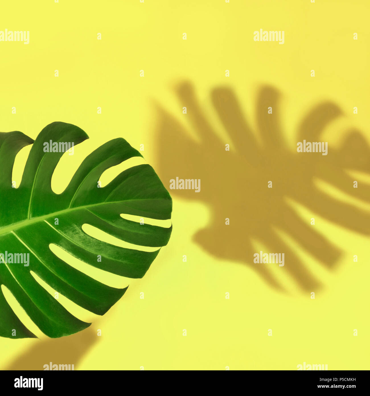 Single leaf of Monstera plant on yellow background. Isolated with copy space. - Stock Image