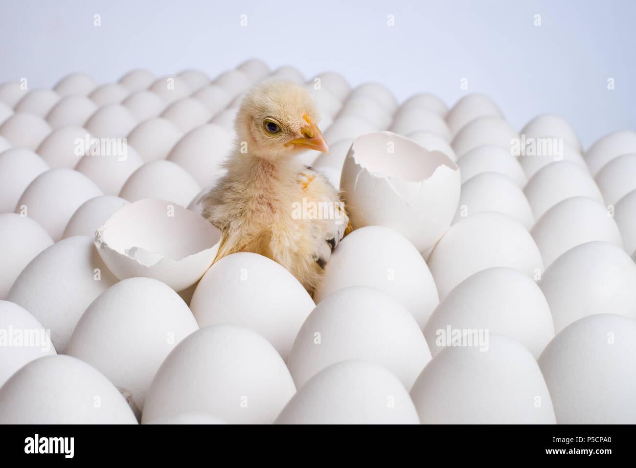 one yellow chicken nestling on many hen's-eggs, horizontal photo - Stock Image