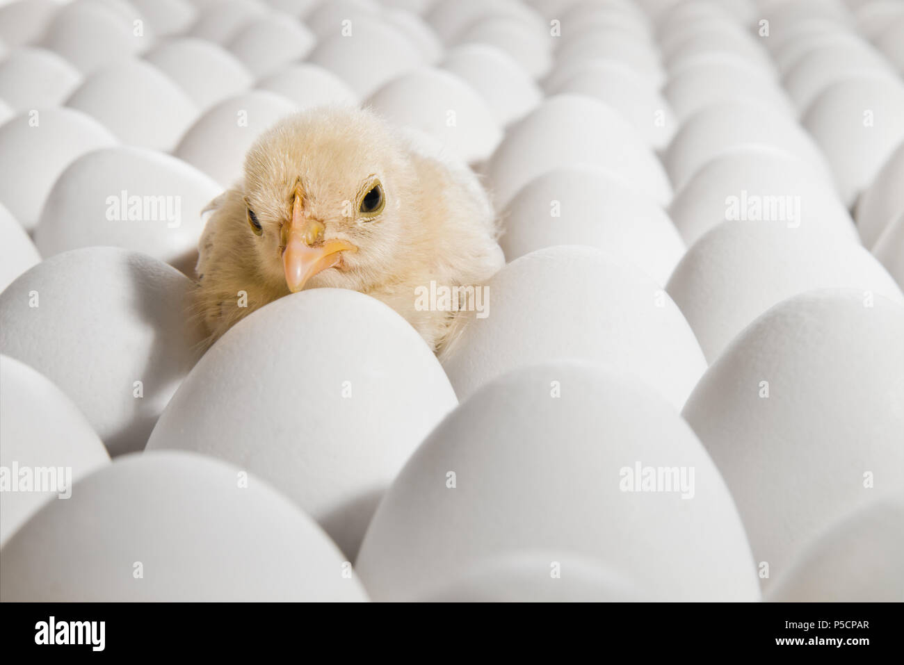 one yellow chicken nestling on many hen's-eggs, horizontal photo Stock Photo