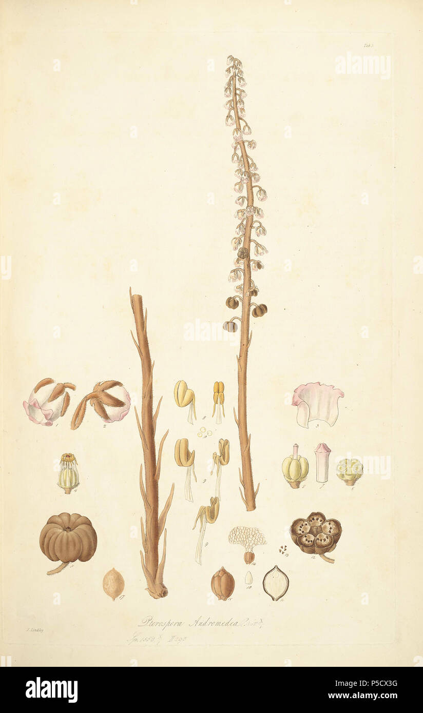 N/A. Illustration from John Lindley's 'Collectanea botanica or, figures and botanical illustrations of rare and curious exotic plants' . 15 June 2012, 18:27:55.   John Lindley (1799–1865)   Alternative names Lindl.  Description botanist, pteridologist, bryologist, university teacher, writer and mycologist  Date of birth/death 8 February 1799 1 November 1865  Location of birth/death Catton, near Category:Norwich Turnham Green, Middlesex  Authority control  : Q378629 VIAF:44413344 ISNI:0000 0000 8377 7990 LCCN:n84018057 NLA:35306726 Botanist:Lindl. WorldCat 40 5 Pterospora andromedea - John  Stock Photo