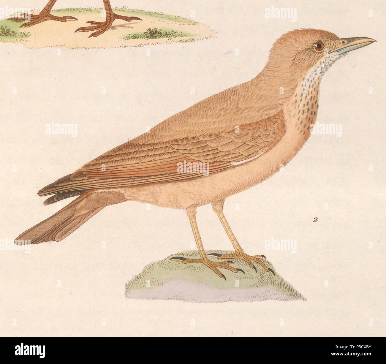 N/A.  English: « Alauda isabellina » = Ammomanes deserti isabellinus (Subspecies of Desert Lark) - male Français: « Alauda isabellina » = Ammomanes deserti isabellinus (Sous-espèce de Ammomane isabelline) - mâle . 1838.   Nicolas Huet  (1770–1830)    Alternative names Nicolas, II Huet; Nicolas Huet The Younger; Nicholas Huet II; Nicolas The Younger Huet  Description French painter, illustrator and engraver  Date of birth/death 1770 26 December 1830  Location of birth Paris  Authority control  : Q3340421 VIAF:95590486 ISNI:0000 0000 7064 7628 ULAN:500117124 GND:138988412      Jean Gabriel Prêtr - Stock Image