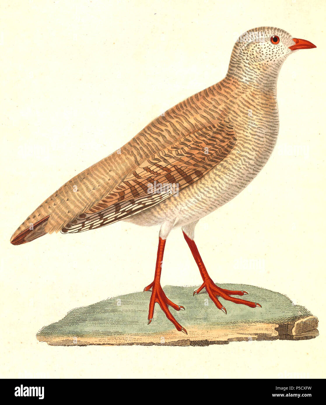 N/A.  English: « Perdix heyi » = Ammoperdix heyi (Sand Partridge) - female Français: « Perdix heyi » = Ammoperdix heyi (Perdrix de Hey) - femelle . 1838.   Nicolas Huet  (1770–1830)    Alternative names Nicolas, II Huet; Nicolas Huet The Younger; Nicholas Huet II; Nicolas The Younger Huet  Description French painter, illustrator and engraver  Date of birth/death 1770 26 December 1830  Location of birth Paris  Authority control  : Q3340421 VIAF:95590486 ISNI:0000 0000 7064 7628 ULAN:500117124 GND:138988412      Jean Gabriel Prêtre  (1768–1849)    Description Swiss artist  Date of birth/death 20 - Stock Image