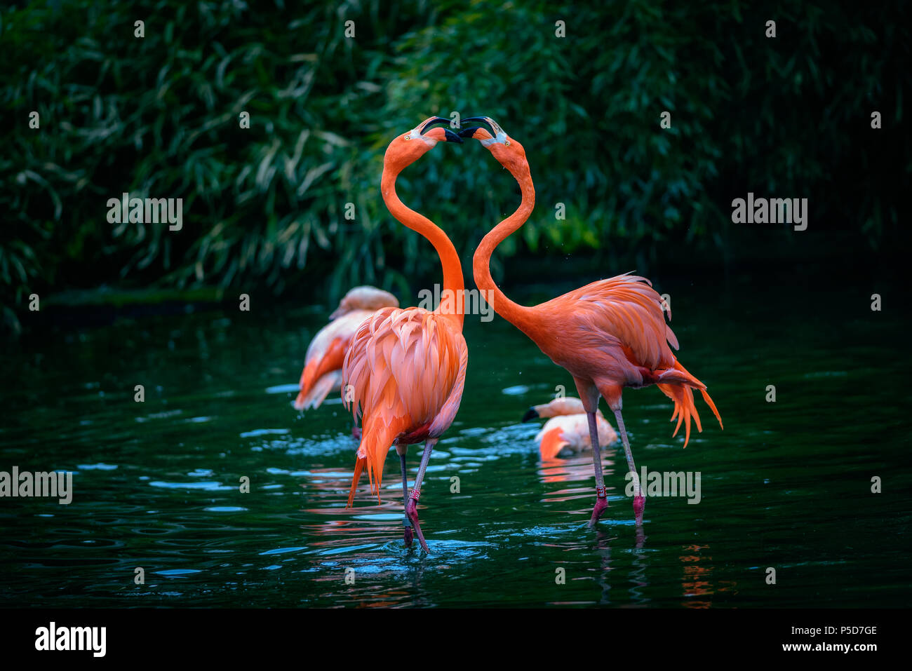 Two Caribbean Flamingos in fight - Stock Image