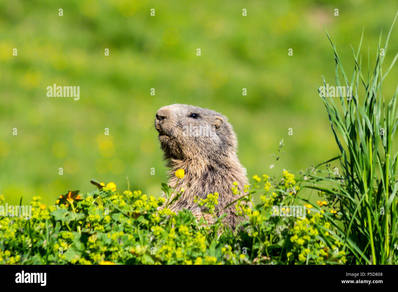 Curious alpine marmot, also known as groundhog, hiding behind bushes and watching for enemies in the European Alps - Stock Image