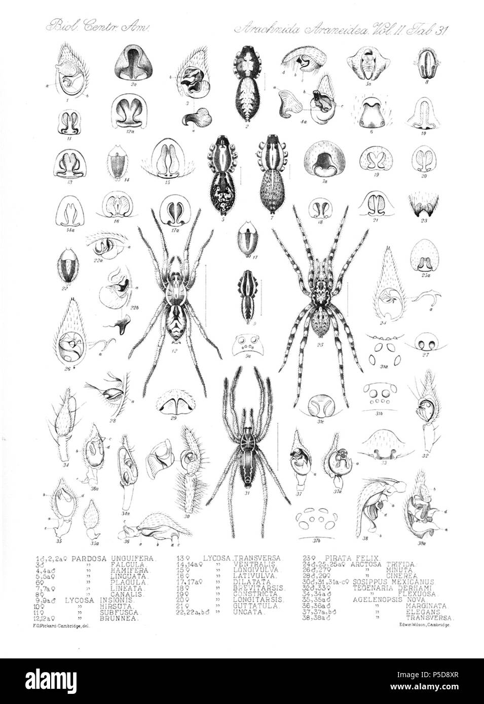 N/A. English: Zoological illustrations of spiders made by Frederick O. Picard-Cambridge for the Biologia Centrali-Americana, an encyclopedia of the natural history of Mexico and Central America . between 1897 and 1905. Frederick Octavius Pickard-Cambridge 116 Arachnida Araneidea Vol 2 Table 31 - Stock Image