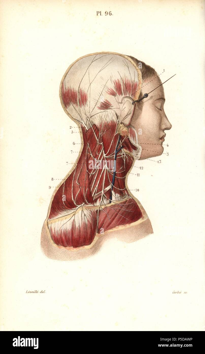 Cervical plexus. Handcolored steel engraving by Corbie of a drawing ...