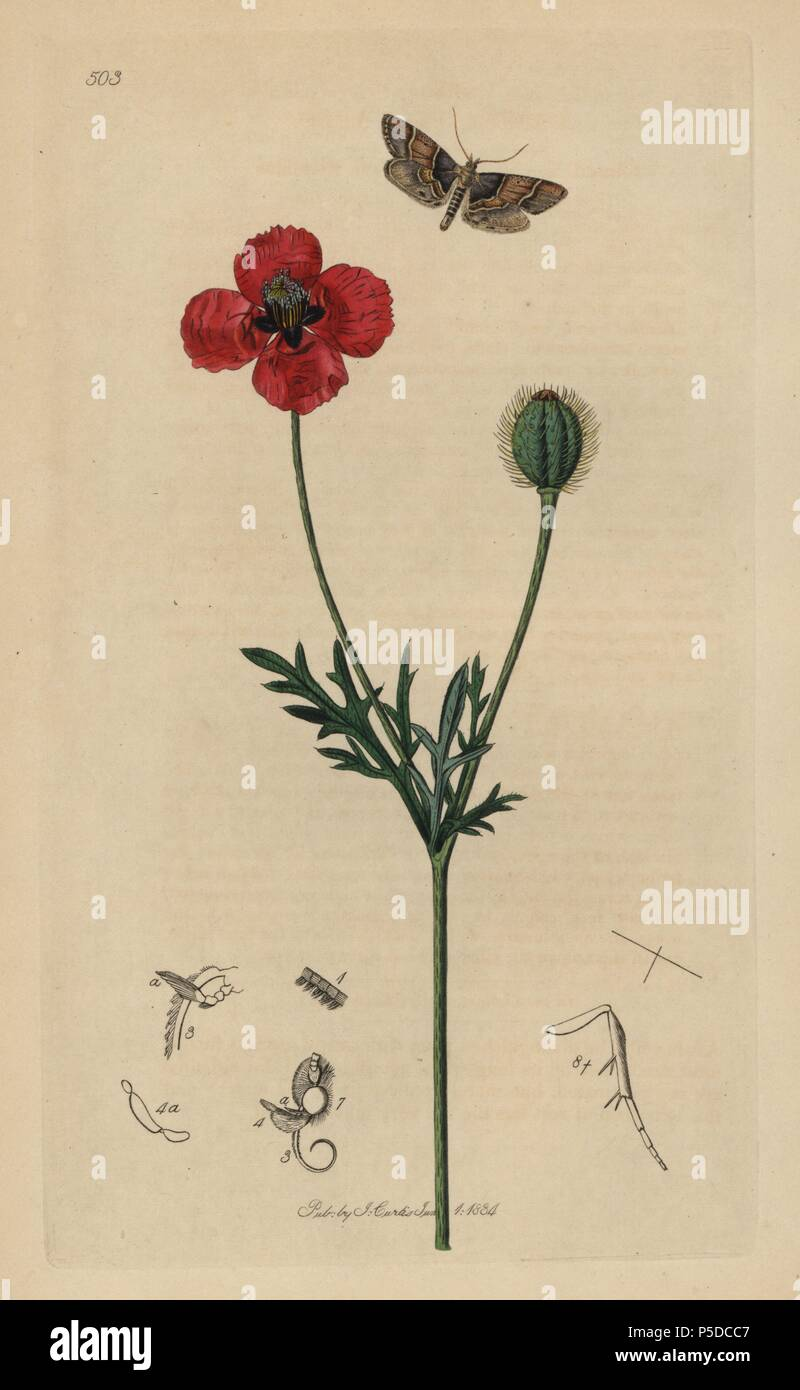 """Asopia pictalis, Pyralis pictalis, Poplar Pyralis moth, with round rough-headed poppy, Papaver hybridum. Entomology, being Illustrations and Descriptions of the Genera of Insects found in Great Britain and Ireland,"""" London, 1834. Curtis (1791–1862) was an entomologist, illustrator, engraver and publisher. """"British Entomology"""" was published from 1824 to 1839, and comprised 770 illustrations of insects and the plants upon which they are found. Stock Photo"""