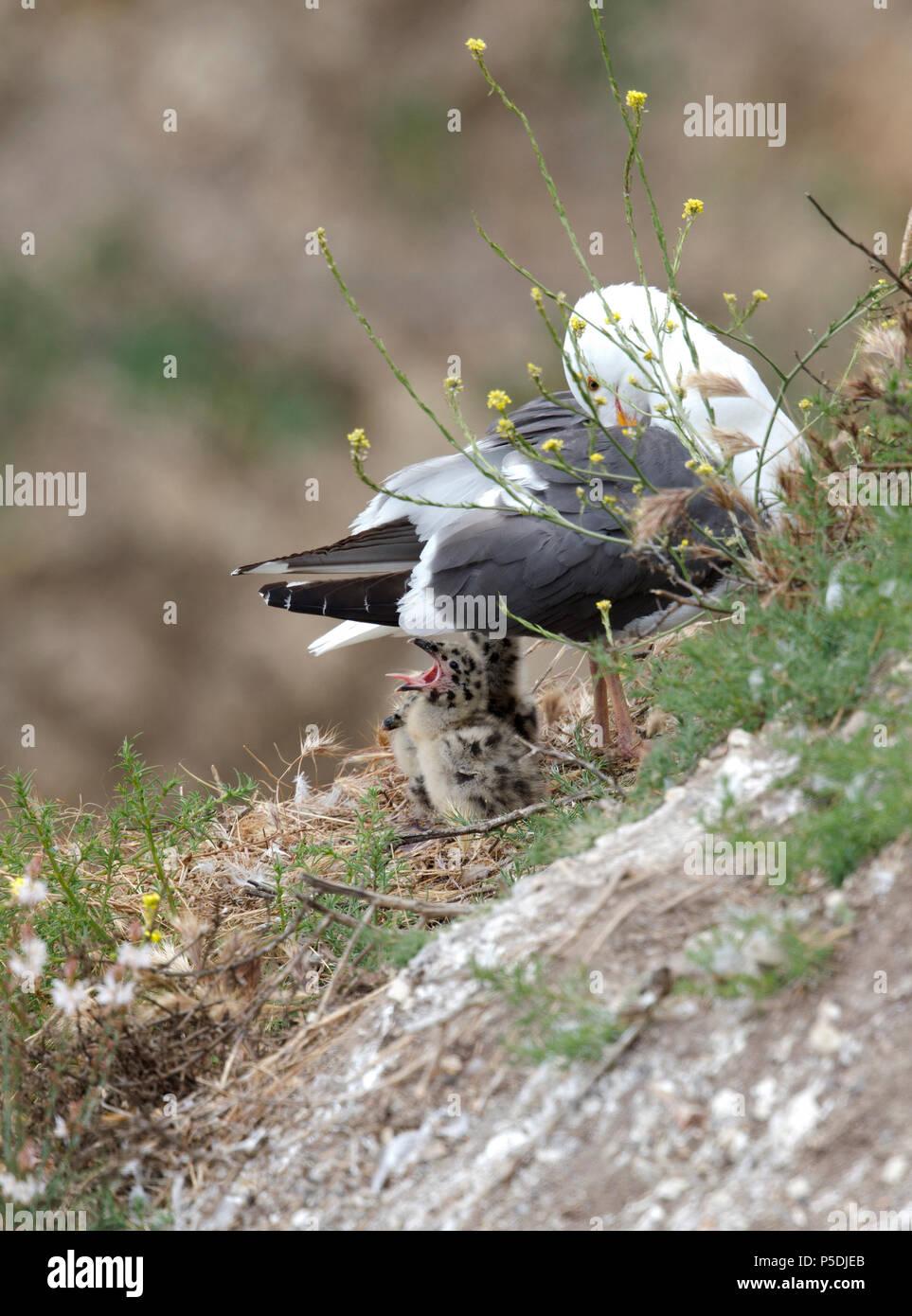 Western Gull Chick Yawning - Stock Image