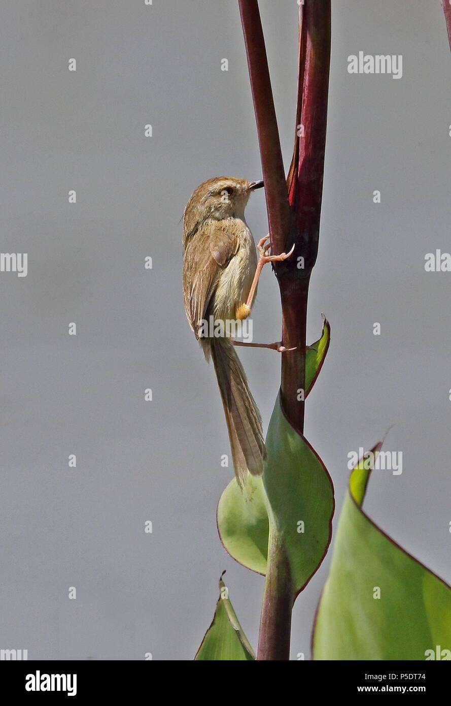 Plain Prinia (Prinia inornata flavirostris) adult clinging to stem  Yehliu Peninsula, Taiwan                 April Stock Photo