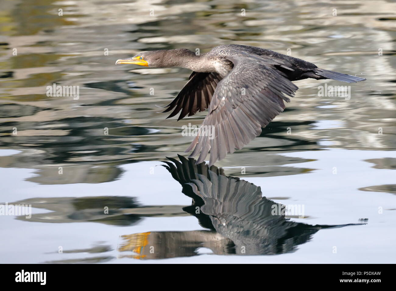 Double-Crested Cormorant in flight - Stock Image