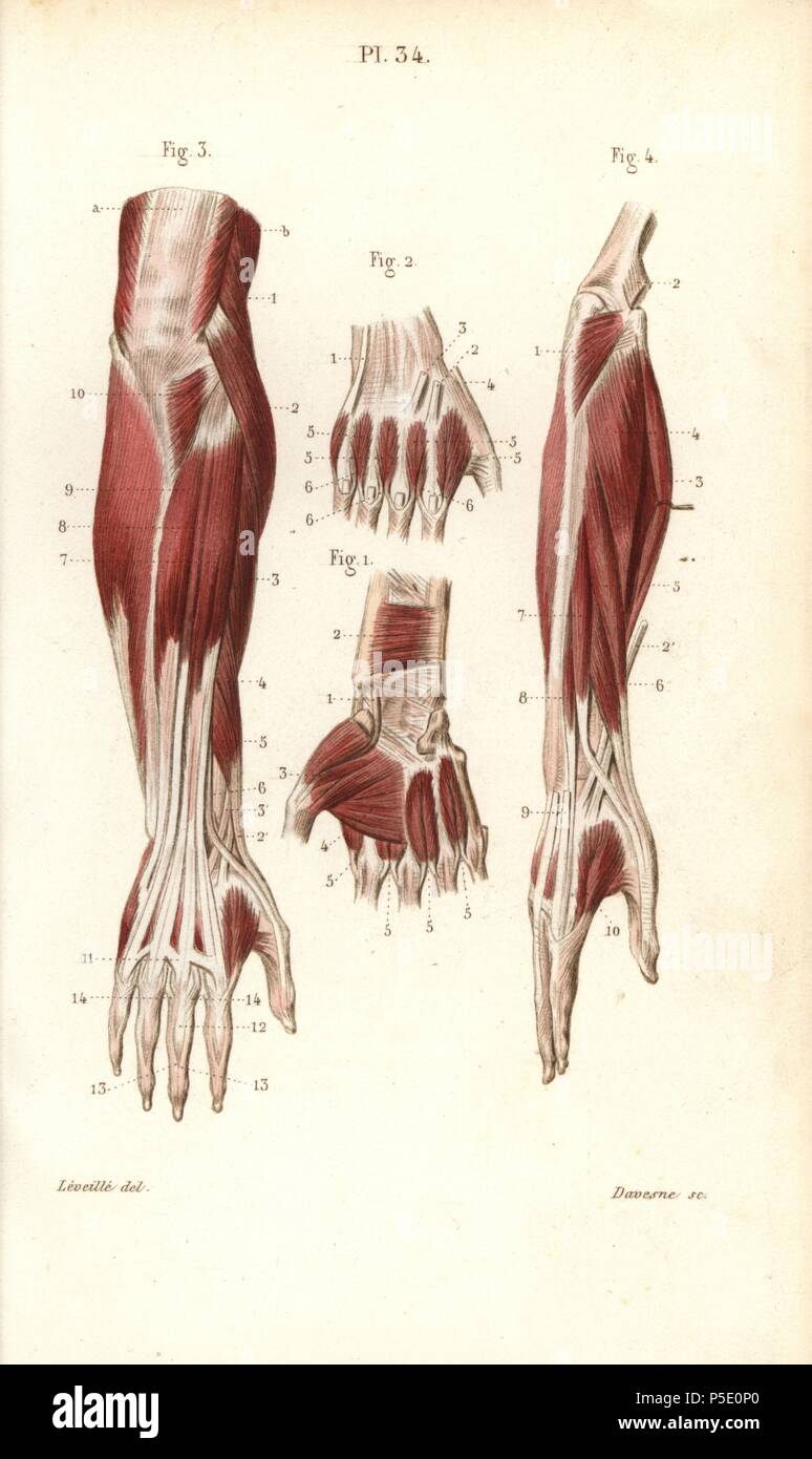 Muscles And Tendons Of The Forearm And Hand Handcolored Steel
