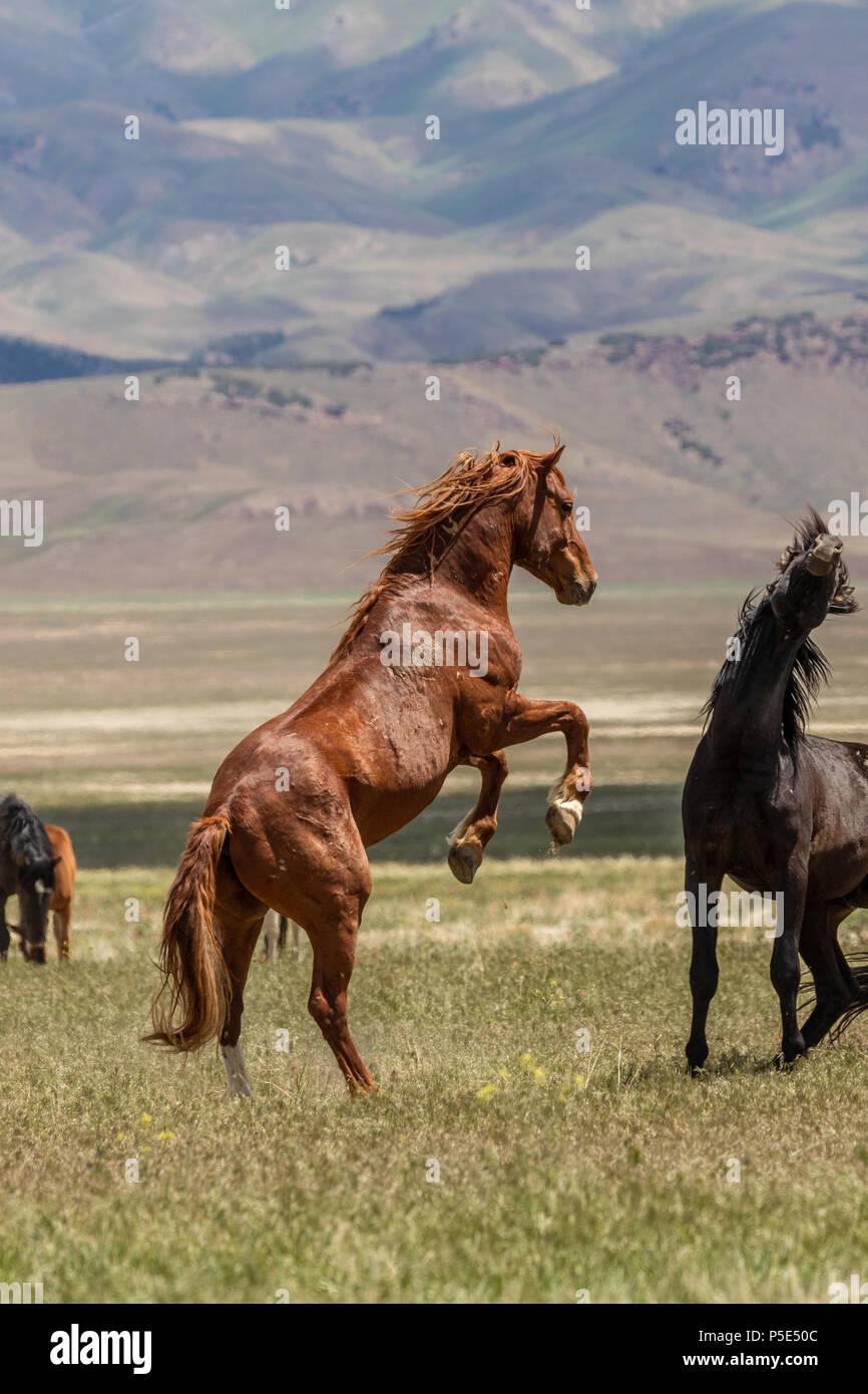Wild horse Stallions Fighting - Stock Image