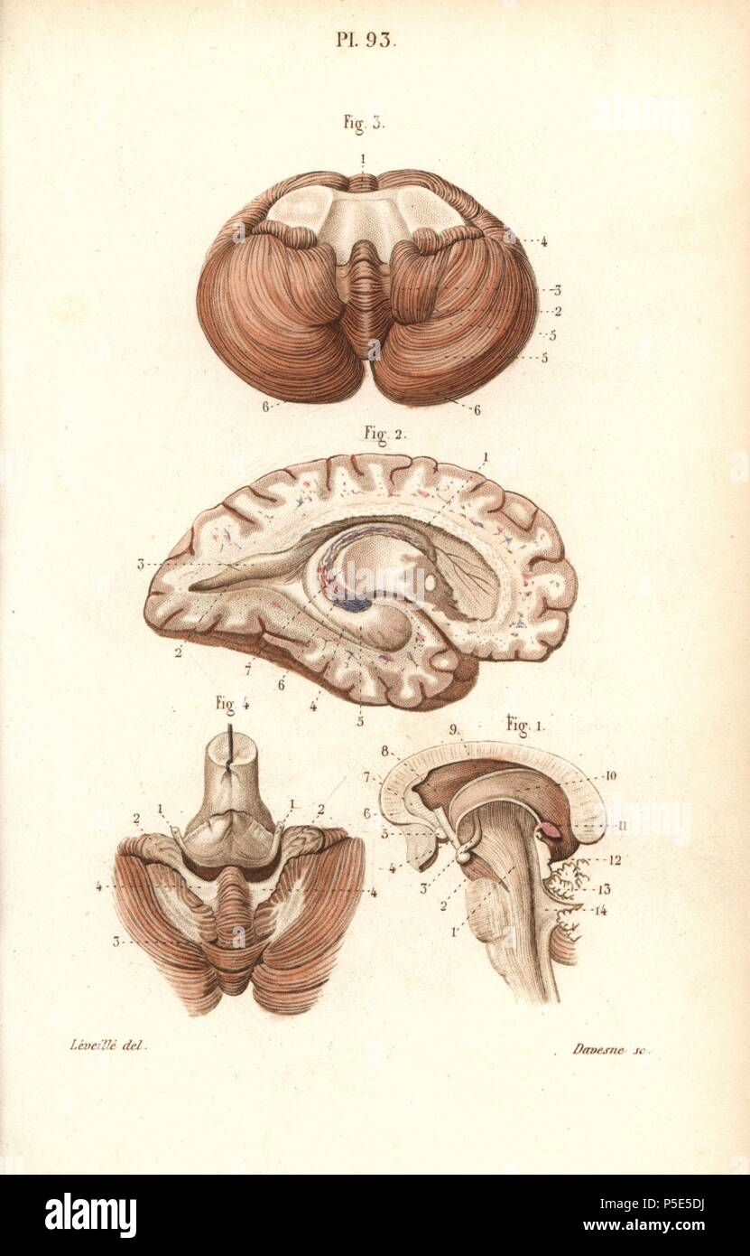 Sections through the brain, cerebellum and ventricles. Handcolored ...
