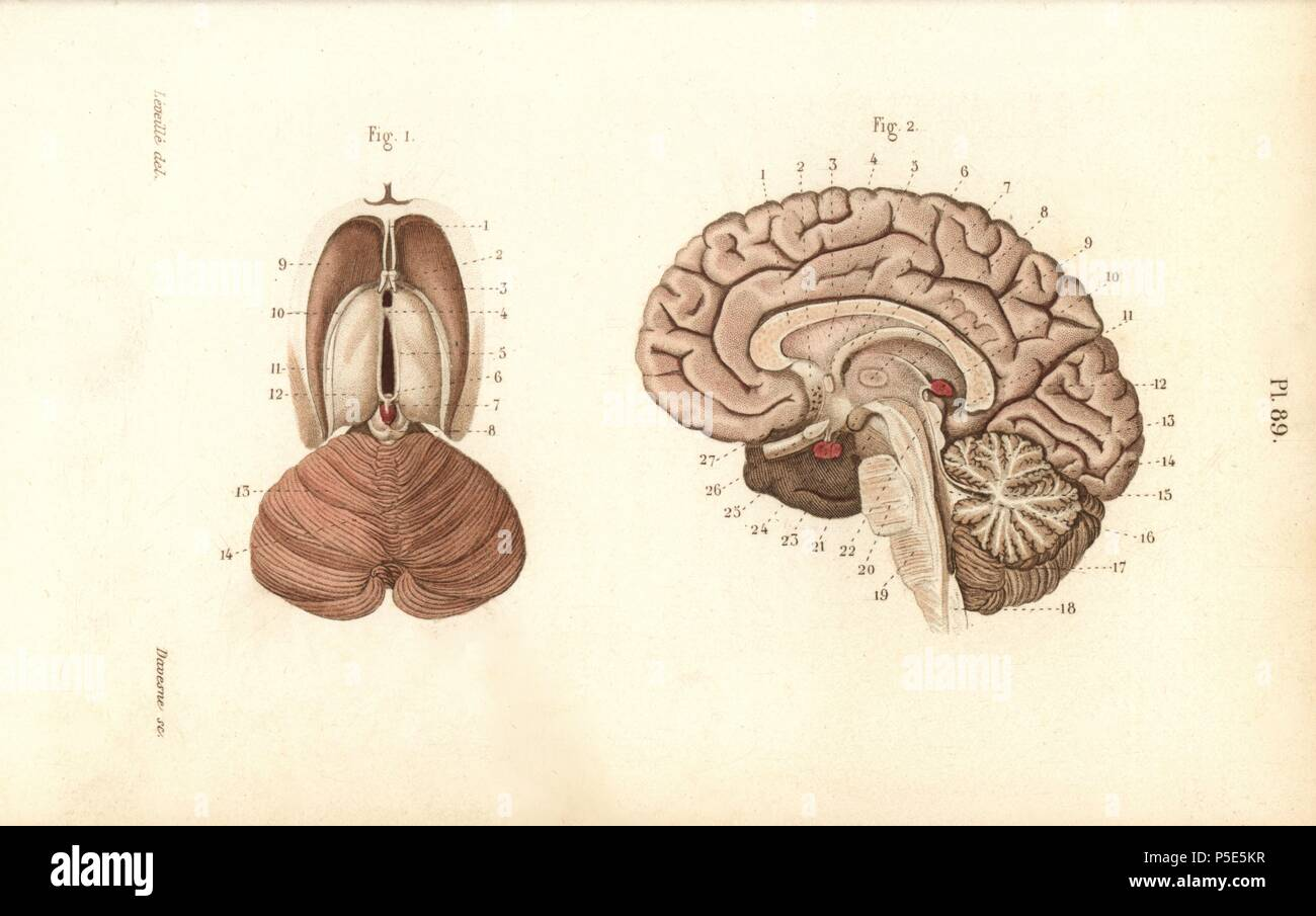 Cross sections through the brain. Handcolored steel engraving by ...