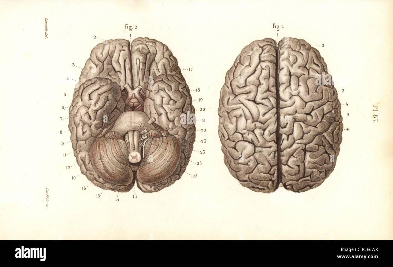 Brain from above and below. Handcolored steel engraving by Corbie of ...