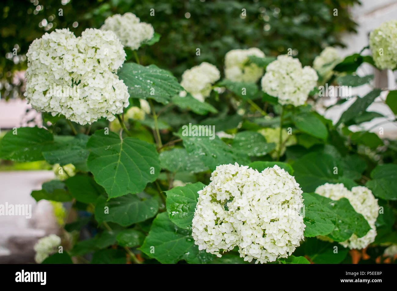Spring Flowering Shrub Kalinin Decorative Round White Flowers Of A