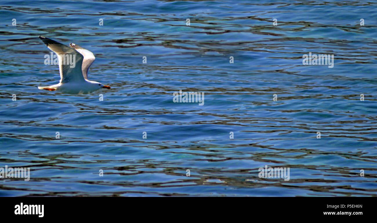 Gabbiano che vola a sfiorare l'acqua. - Stock Image