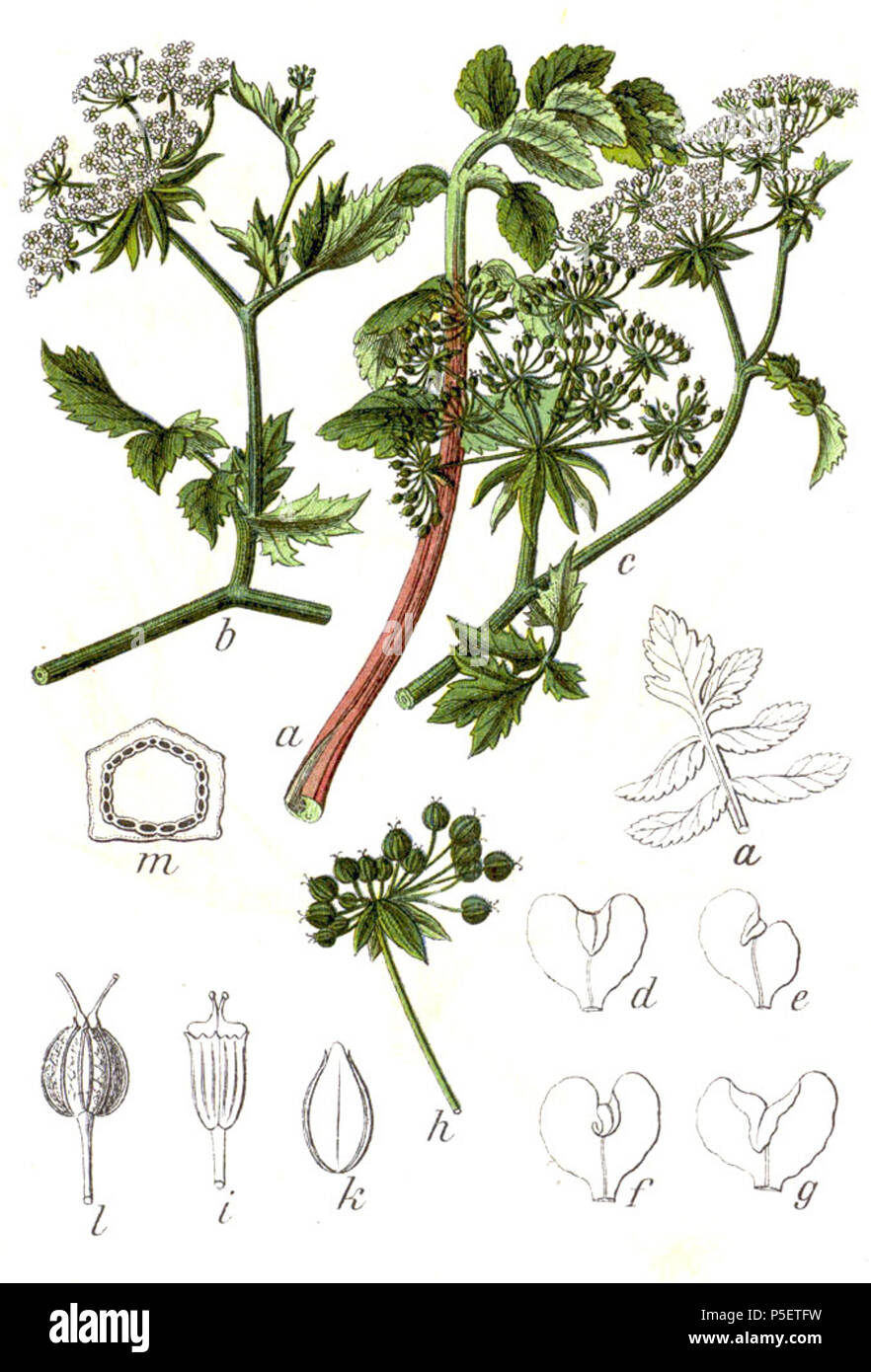 N/A. Berula erecta (Huds.) Coville, syn. Sium angustifolium L. Original Caption Gemeine Berle, Sium angustifolium . 1796. Johann Georg Sturm (Painter: Jacob Sturm) 194 Berula erecta Sturm12 Stock Photo