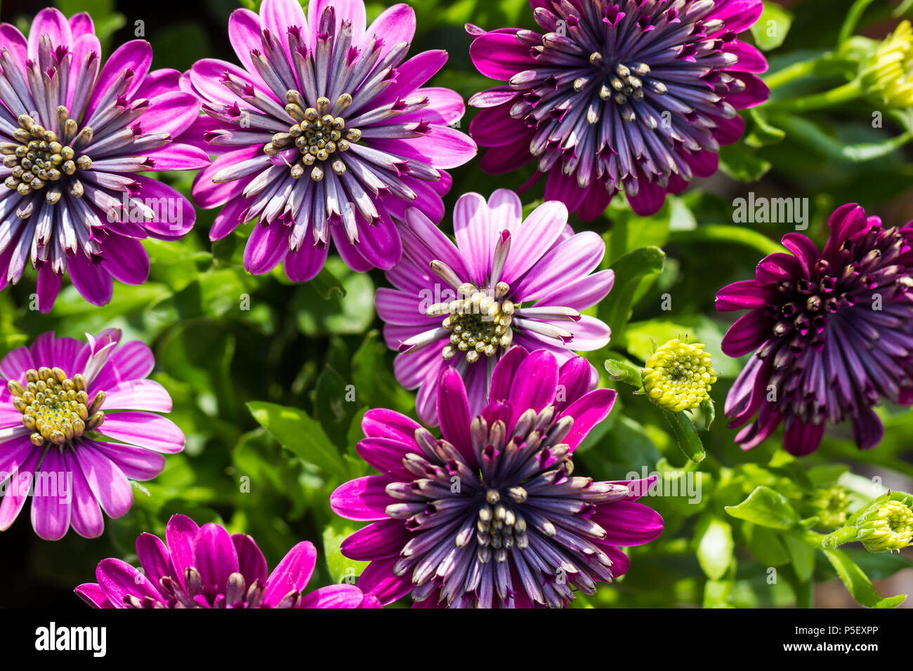 Double African Daisy Flowers Osteospermum Blooming In Summertime