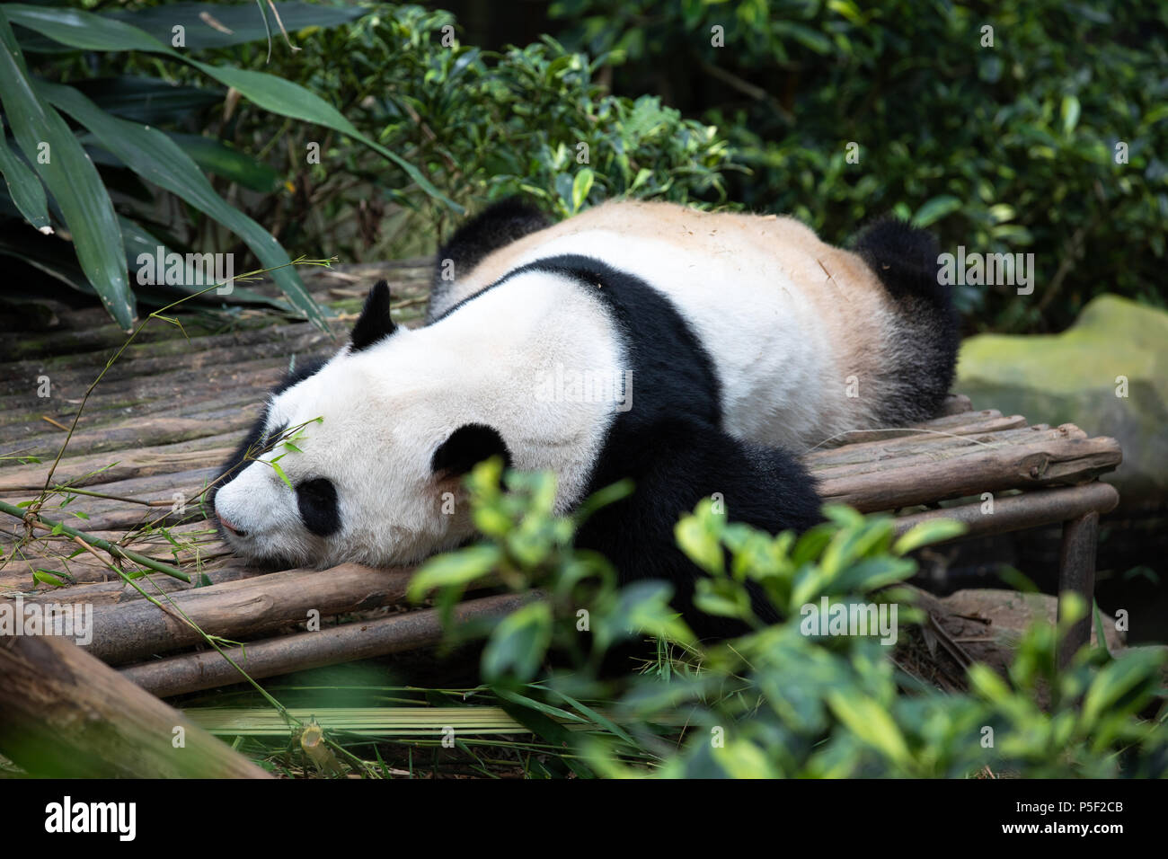 Portrait of an endangered black and white panda bear sleeping in the greenery. Singapore. - Stock Image