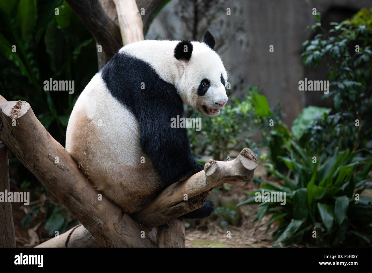 Portrait of an endangered black and white panda bear sitting on a tree branch. Singapore. - Stock Image
