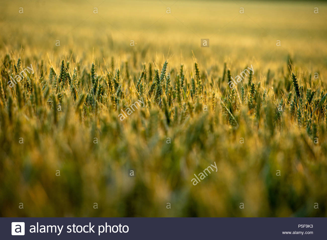 Wheat Field in the golden hour of sunshine in Wiltshire UK - Stock Image