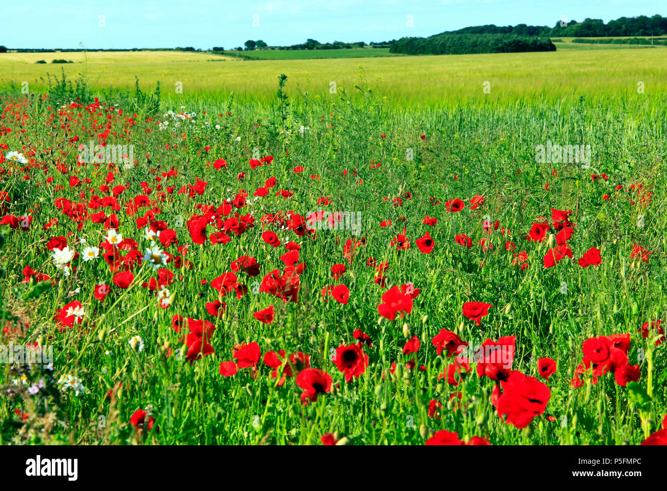 Red  field poppies, yellow field of barley, north Norfolk, England,agricultural, field, agriculture, crop, crops, barley, fields - Stock Image