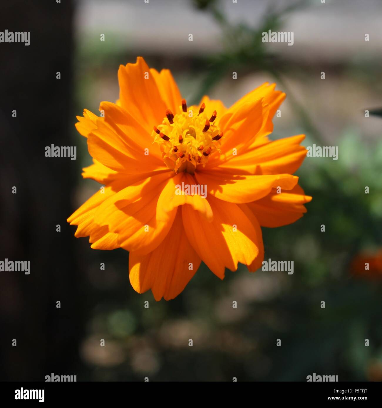 Flower symbolizing nature, beauty, perfume, color, decoration, celebrations and cuisine.Because they depend on the Sun, it also represents energy. - Stock Image