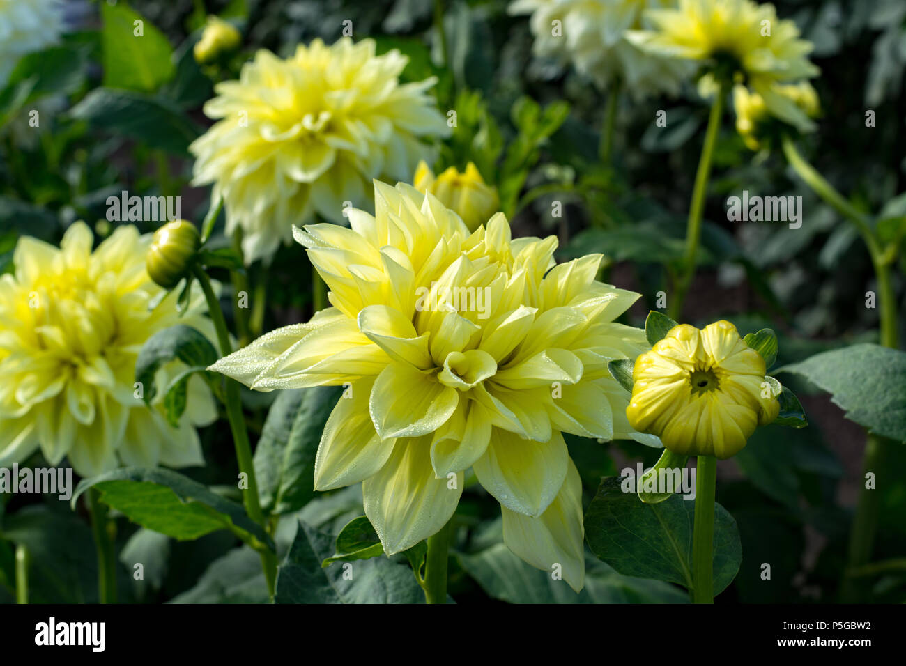 Yellow dahlia flower on the plant beatyful bouquet or decoration yellow dahlia flower on the plant beatyful bouquet or decoration from the garden izmirmasajfo