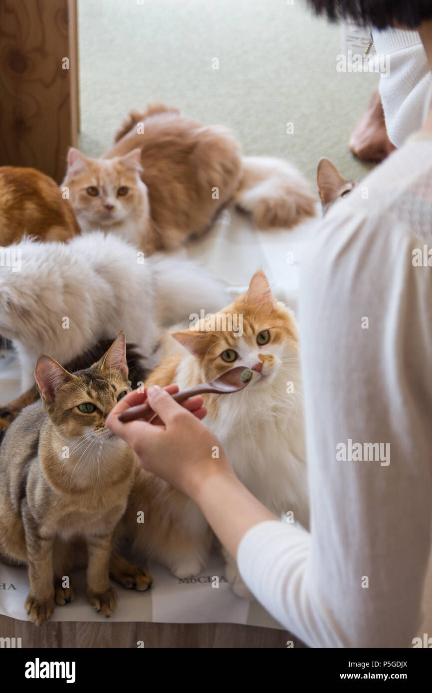 Cats Are Feeded In Mocha Cat Cafe In Harajuku Tokyo Stock Photo Alamy