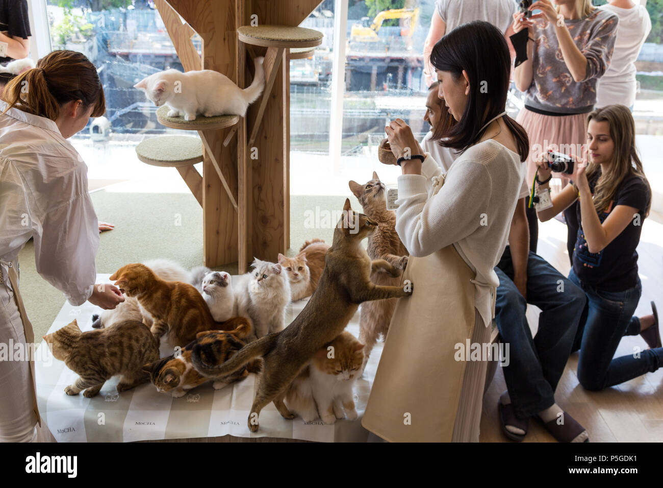 Cats Are Feeded And Photographed In Mocha Cat Cafe In Harajuku Tokyo Stock Photo Alamy