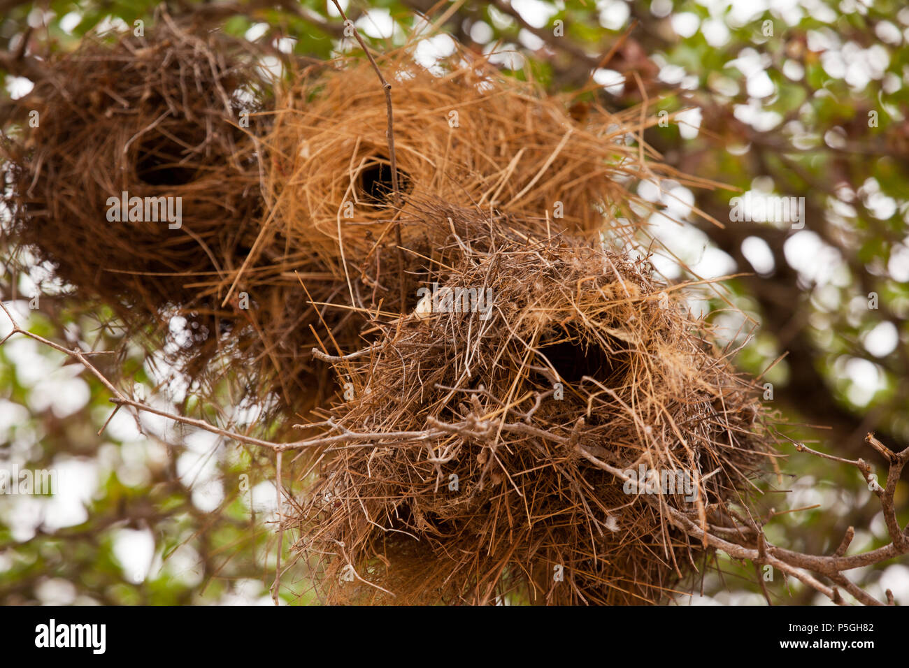 White browed sparrow weaver nests, Selous Game Reserve, Tanzania - Stock Image
