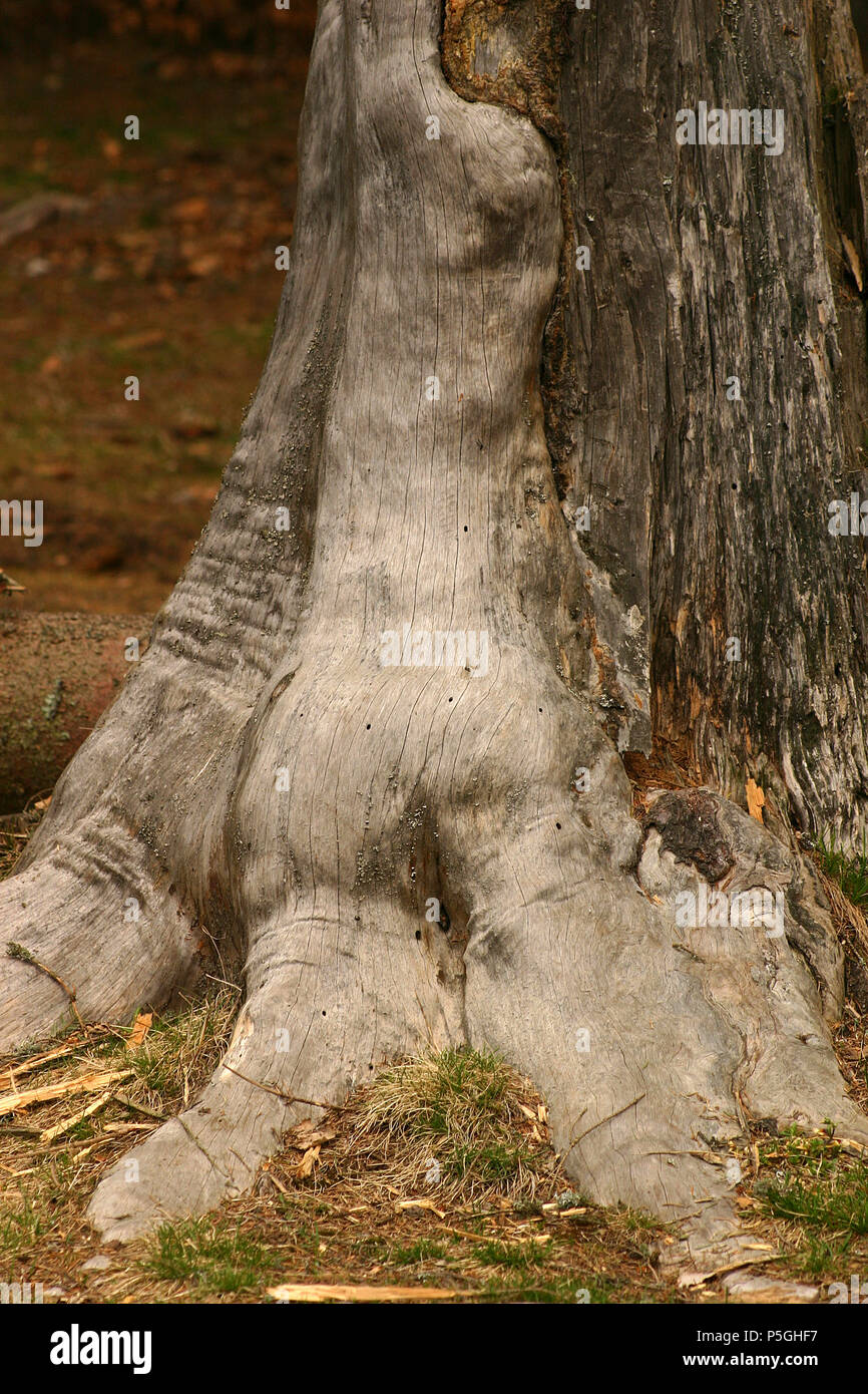 Inosculation: two different trees joined together at the base of their trunk. Conjoined trees. Husband and wife trees. - Stock Image