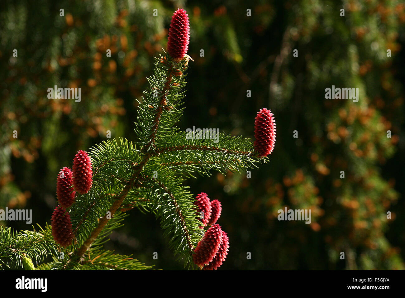 Red pine cones on green branches - Stock Image