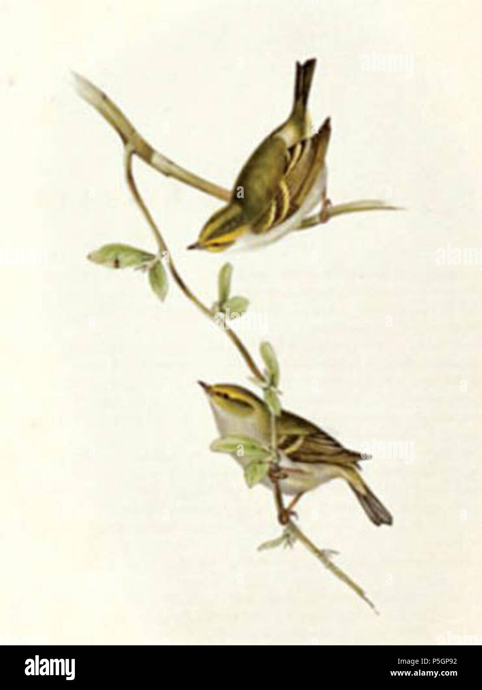 N/A. English: Phylloscopus proregulus cropped from Gould's llustration of 'Dalmatian Regulus' . 15 September 2016, 11:04:28. John Gould 407 Dalmatian regulus gould Stock Photo
