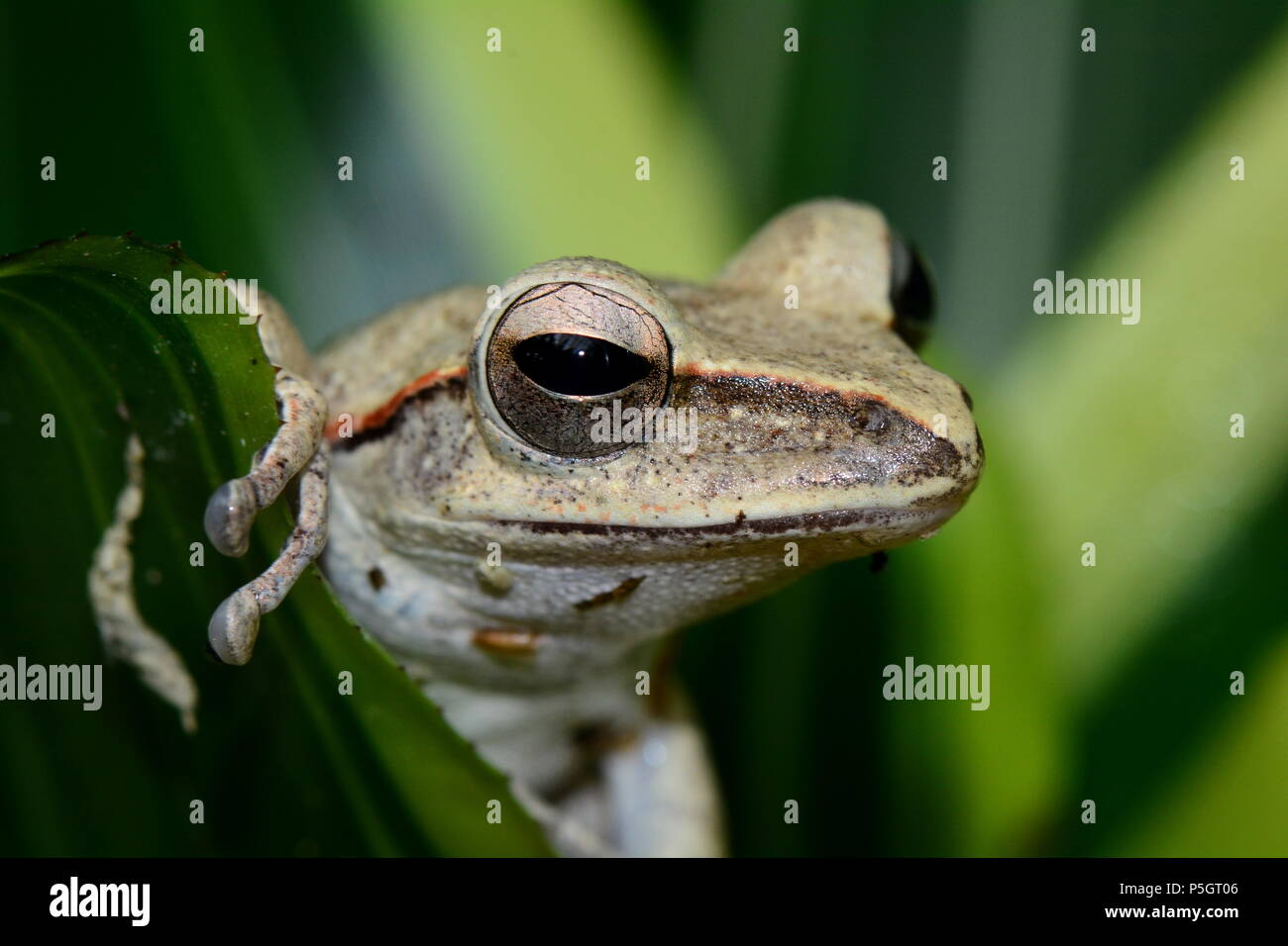 A tree frog poses for the camera in the gardens. - Stock Image