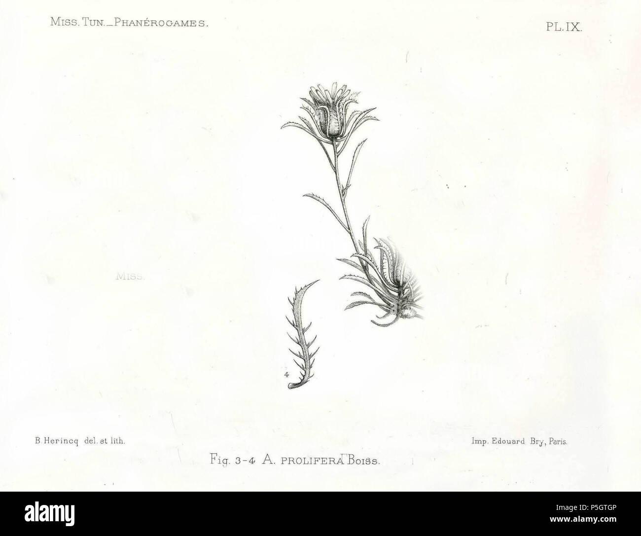 002 21 Stock Photos Images Alamy Senter Led N A Espaol Ilustracin De Atractylis Prolifera 1895 Uploaded 2013