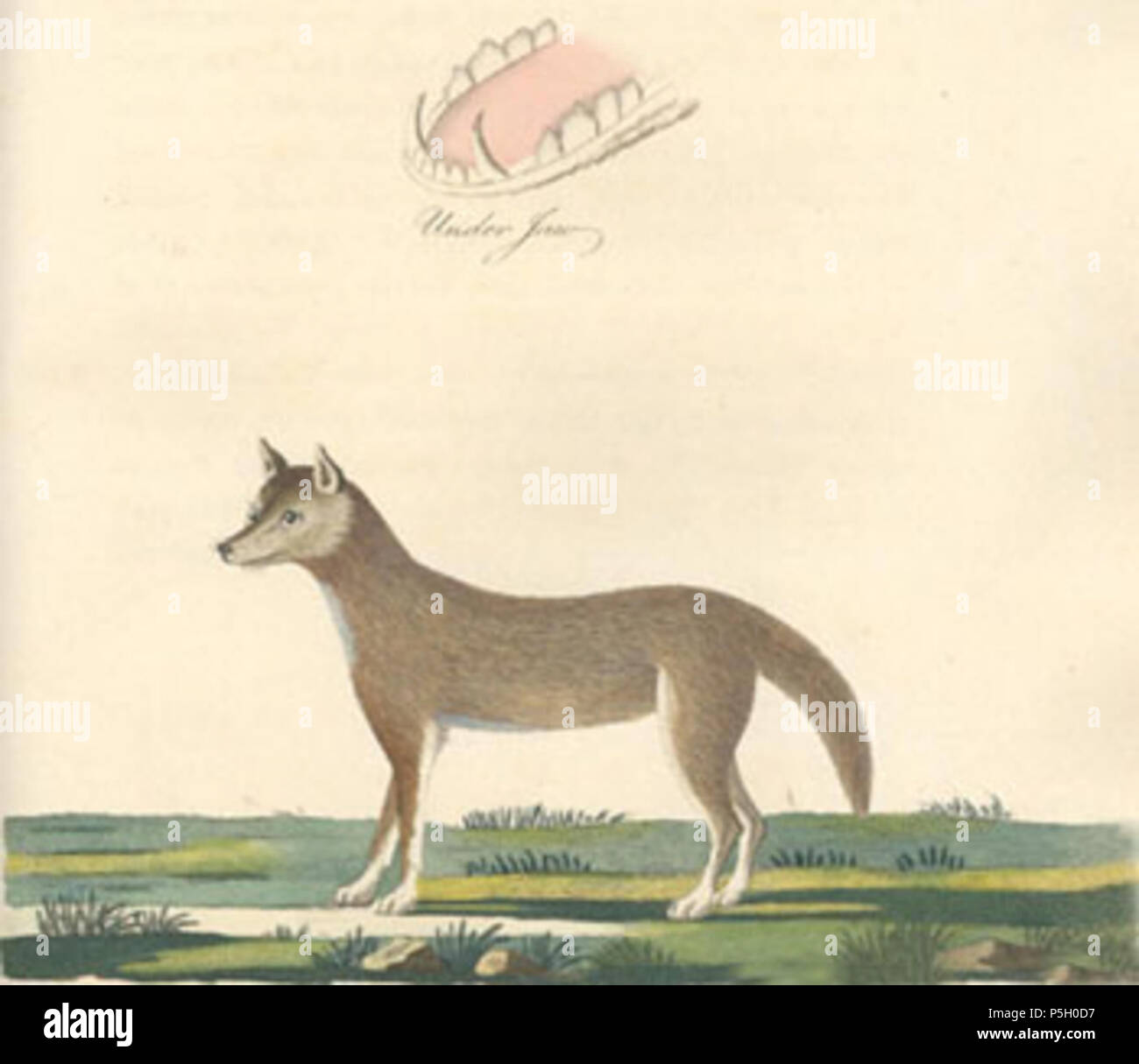 N A Dog Of New South Wales Estina Kresba Psa Dinga Z Noveho