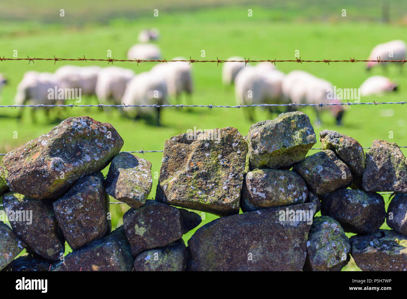 Sheep in a field behind barbed wire and a dry stone wall, County Antrim, Northern Ireland. - Stock Image
