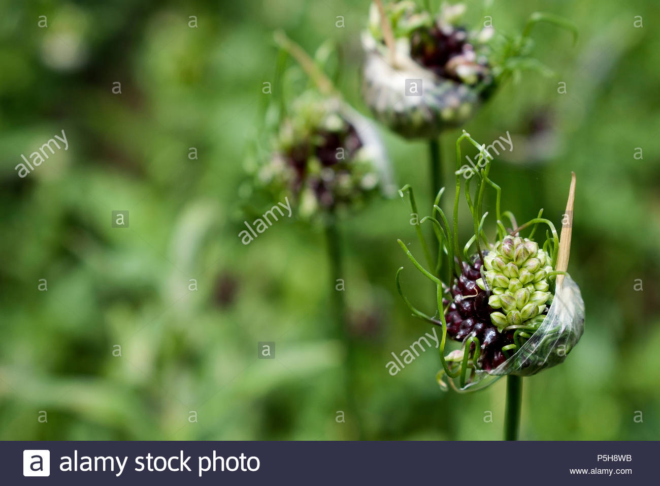 Purple and green seeds and grass-like spikes emerging from sac pods - Stock Image