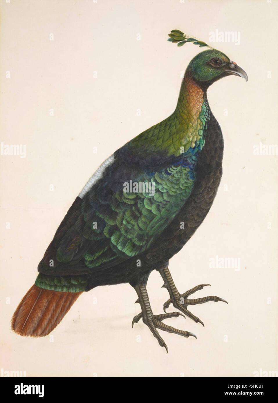 N A English A Himalayan Monal Impeyan Pheasant Calcutta