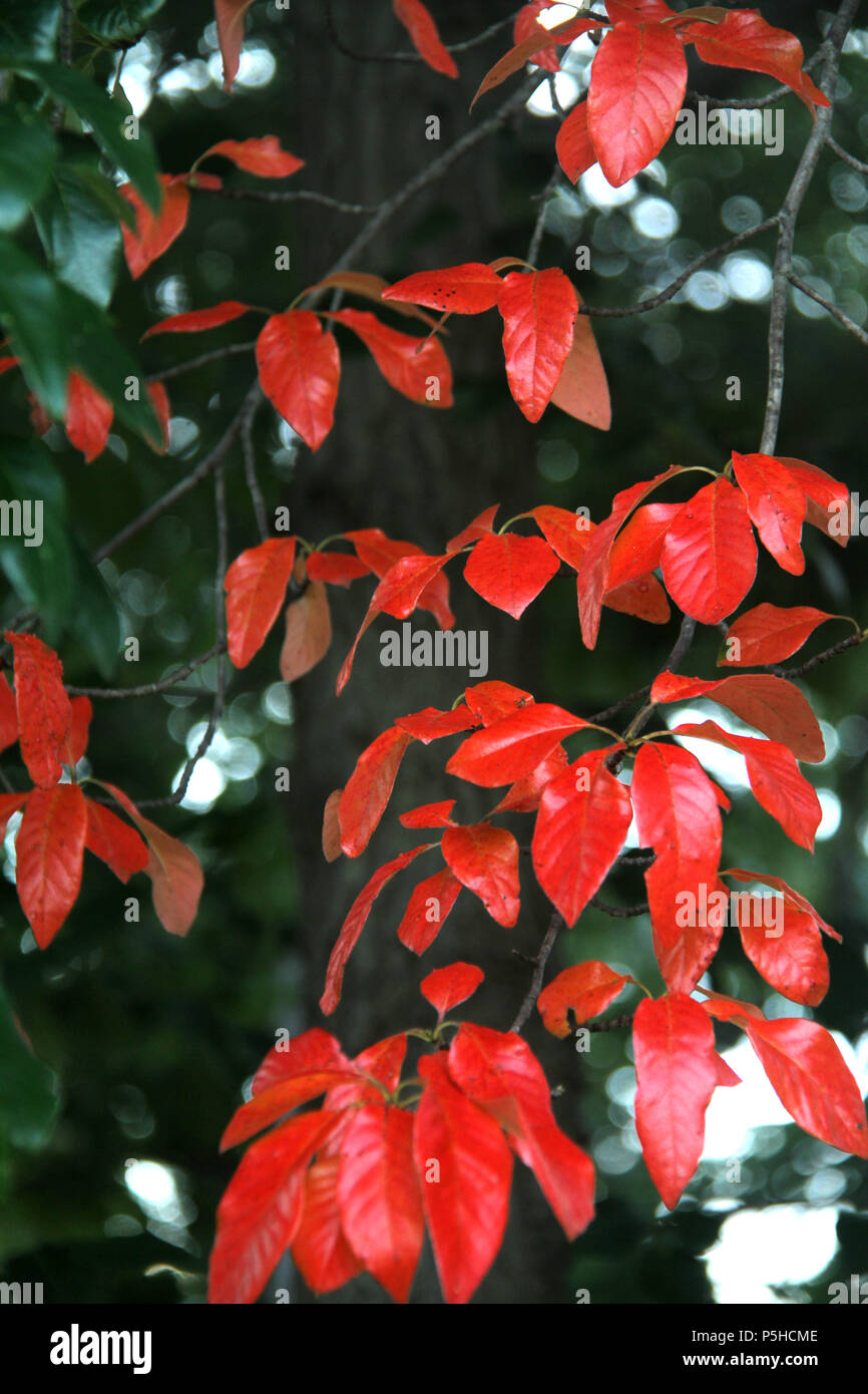 Red shiny leaves of Tupelo tree in autumn - Stock Image
