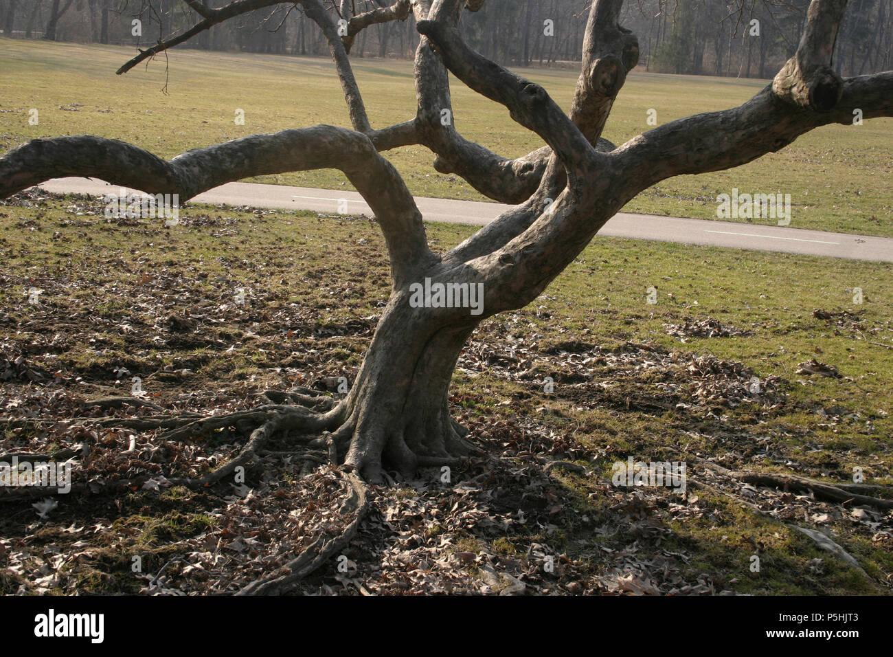Small ornamental tree in public space - Stock Image