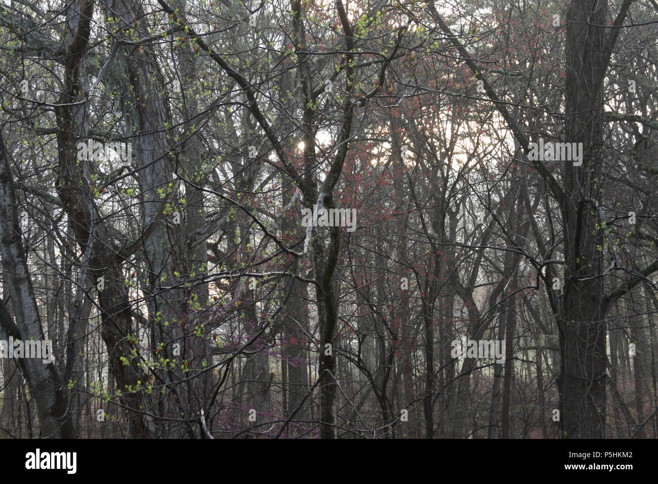 View of woods in early spring, with bare trees and first flowering branches - Stock Image