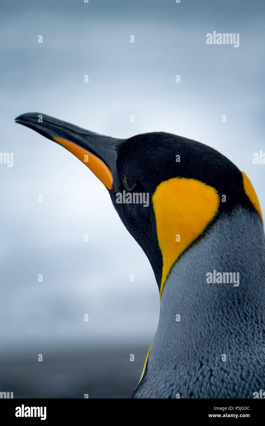 Single King Penguin portrait looking away from camera - Stock Image