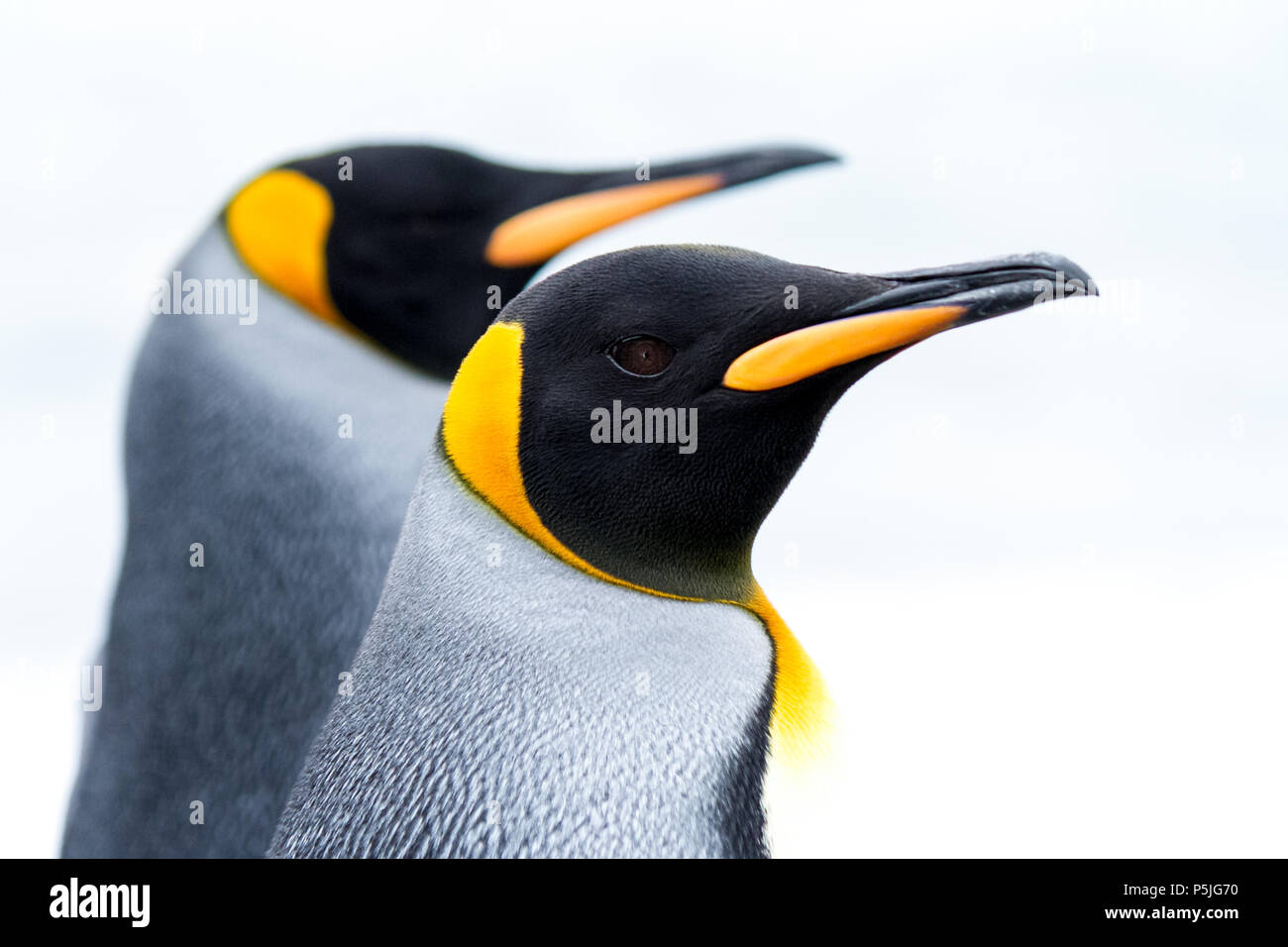 Portrait of a pair of King Penguins - Stock Image