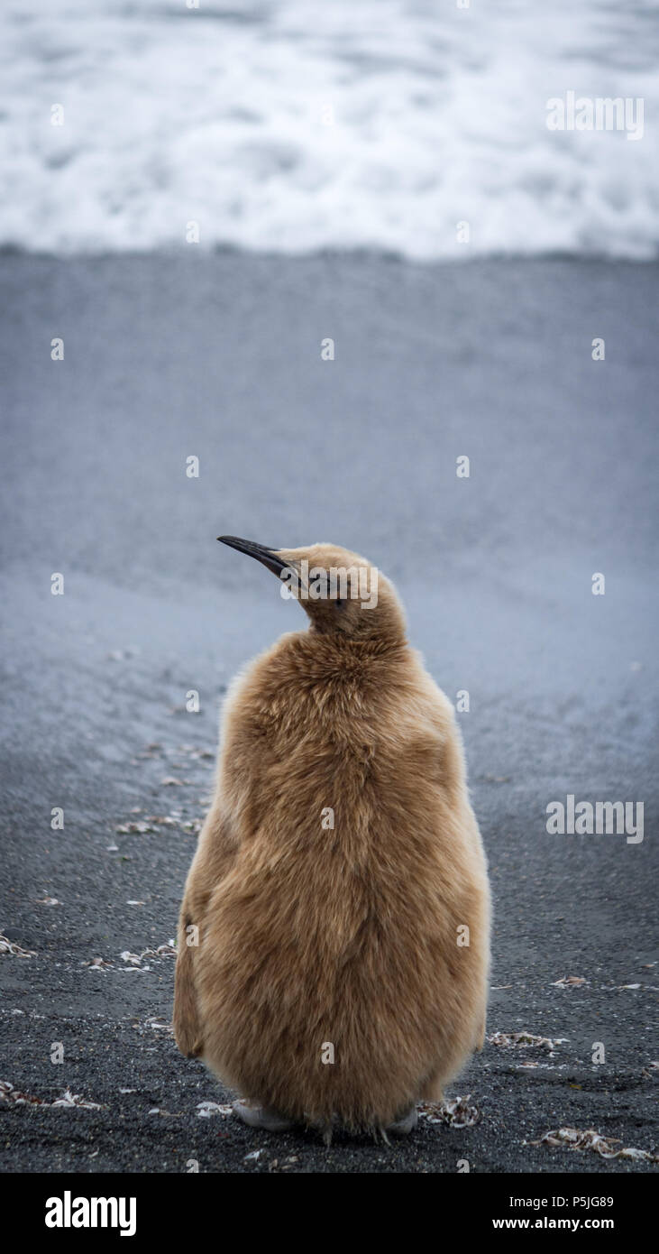 King Penguin chick with fluffy brown down feathers on black sand beach - Stock Image
