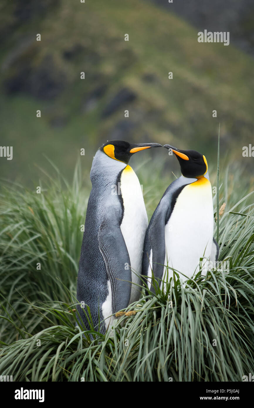 Pair of King Penguins on nest - Stock Image
